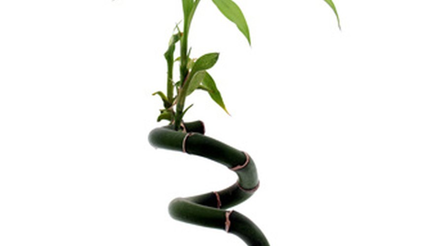 In some cases and seasons, lucky bamboo can grow outside.