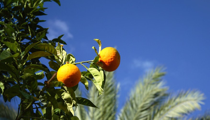 The citrus rust mite causes widespread damage on citrus trees.