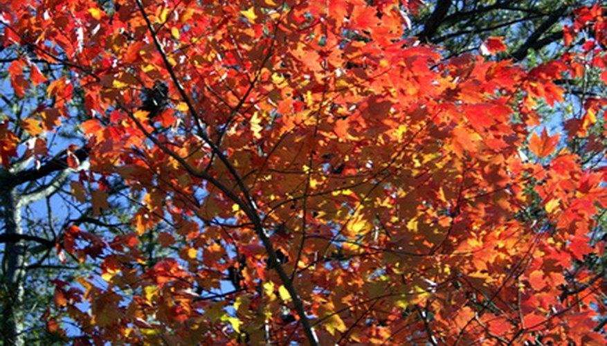 Red maple has striking fall foliage