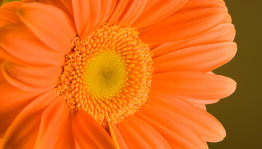 Orange gerbera daisy flower.
