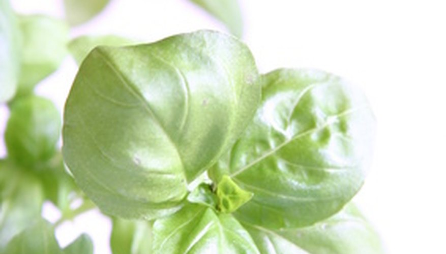Basil is an annual plant in Kentucky.