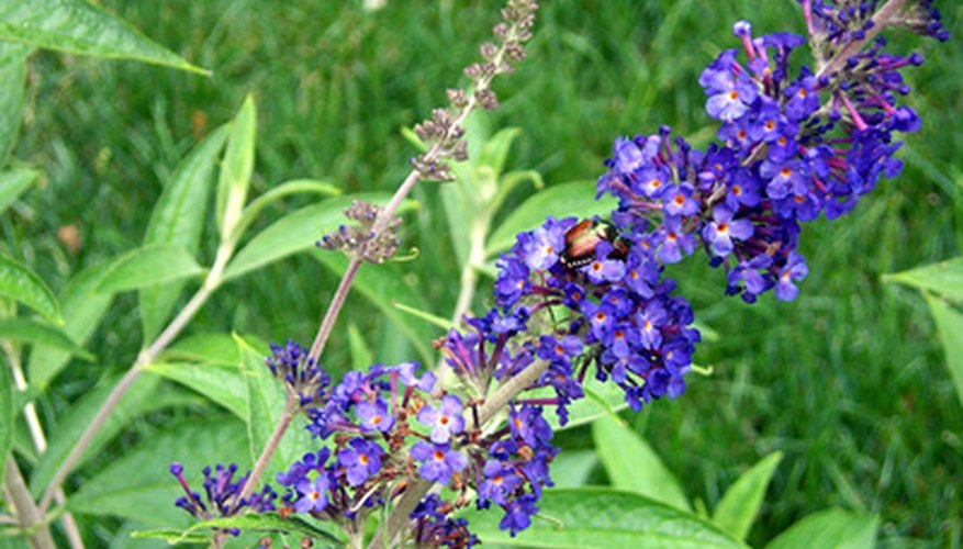 Butterfly bush blooms form a cone shape.