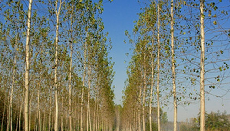 Poplar trees are often planted in rows.