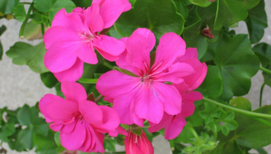Ivy geraniums have colorful blooms.