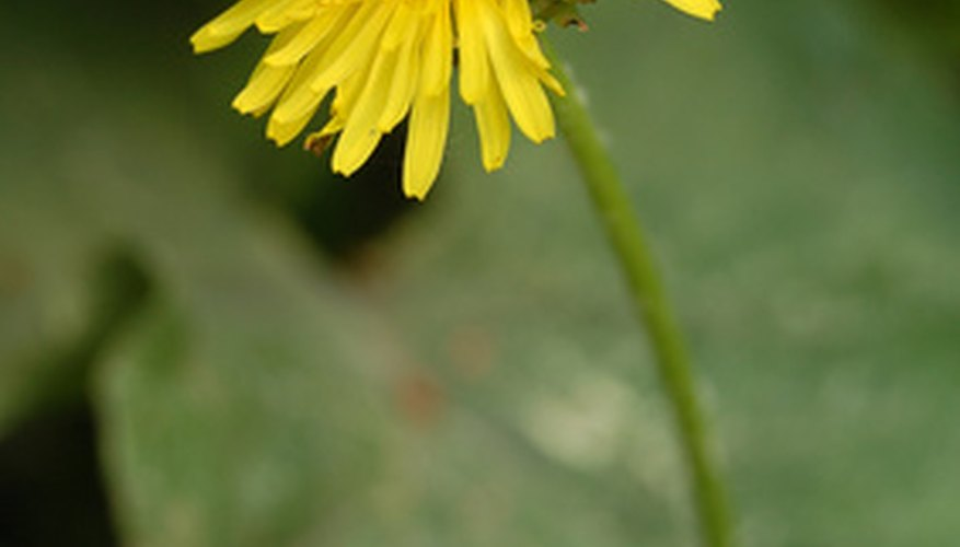 Dandelion flowers consist of many small petals.