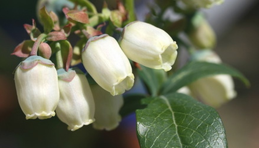 Mid to late spring finds blueberry bushes cloaked in fragrant white urn-shaped blossoms.