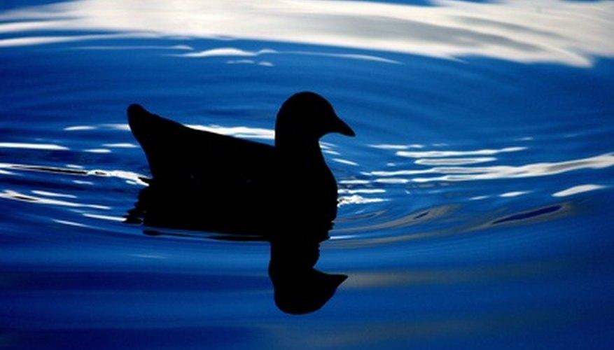Circles ripple around the duck