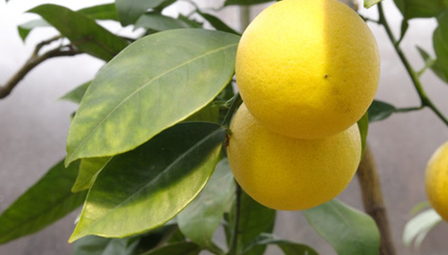 California citrus are susceptible to disease.