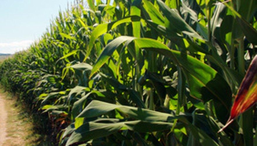 Descripción de la hoja de la planta de maíz.