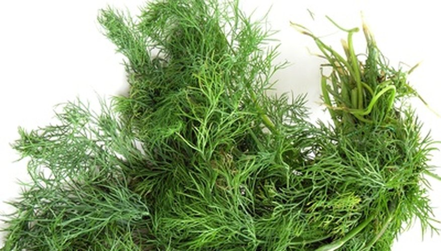 Dill is just one herb that does well in zone 10