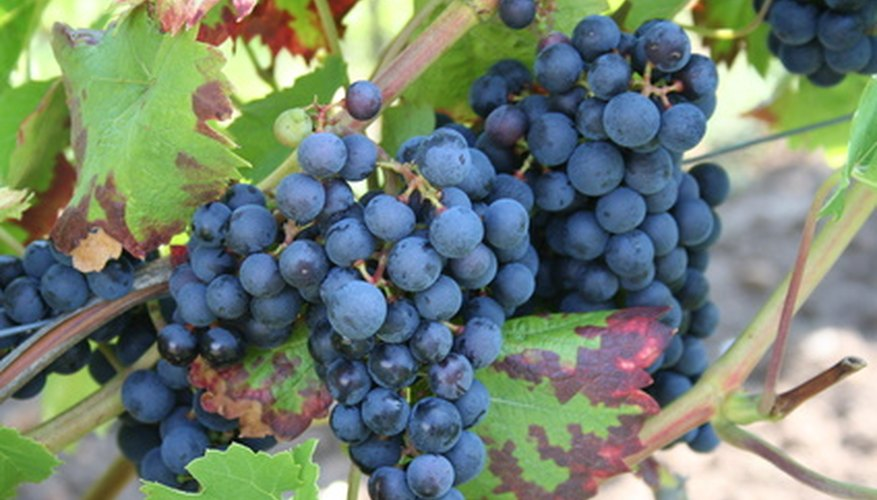 Tie up your grape vine's fruit-bearing branches to avoid bending or breaking.