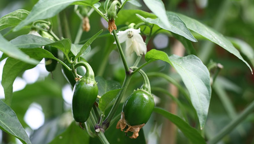 Pepper plants get a healthy start indoors in late winter.