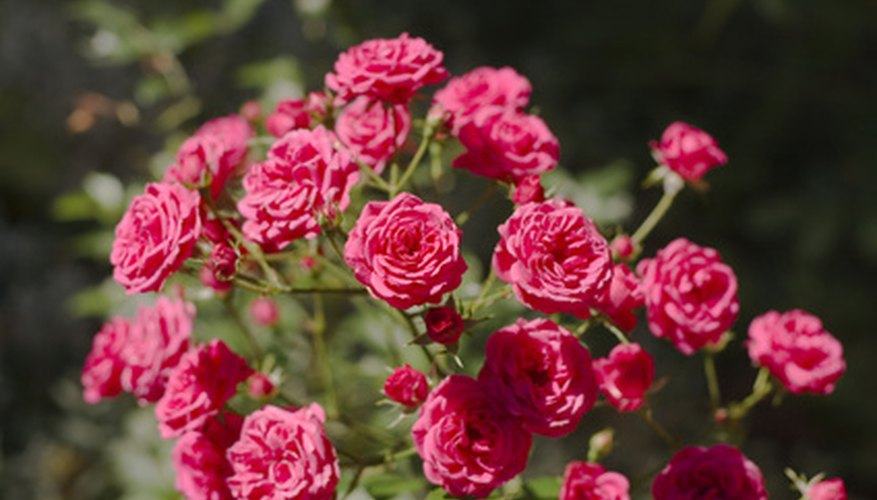 Shrub roses are good candidates for container gardening.