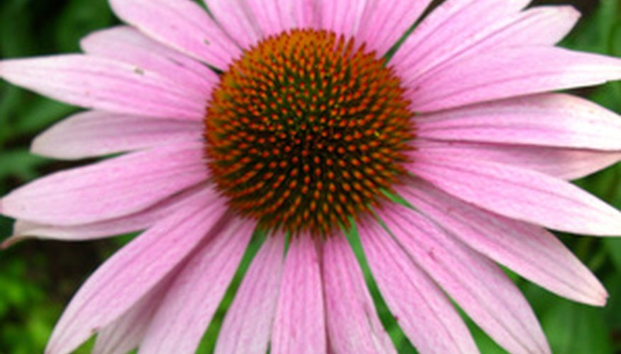 Purple coneflower is one of the easiest flowers to grow, making it a perfect plant for gardeners of all skill levels.