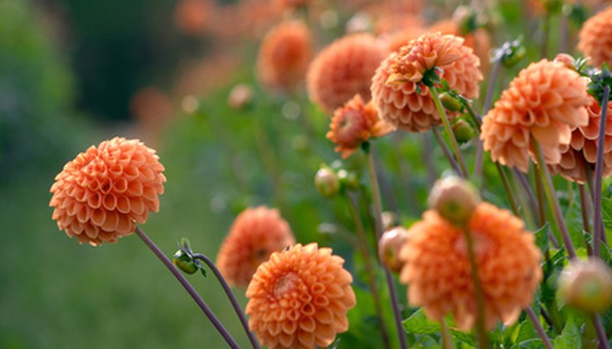 Dahlias often reach their floral peak in autumn.