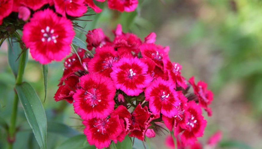 Garden phlox is a lovely perennial for any garden.