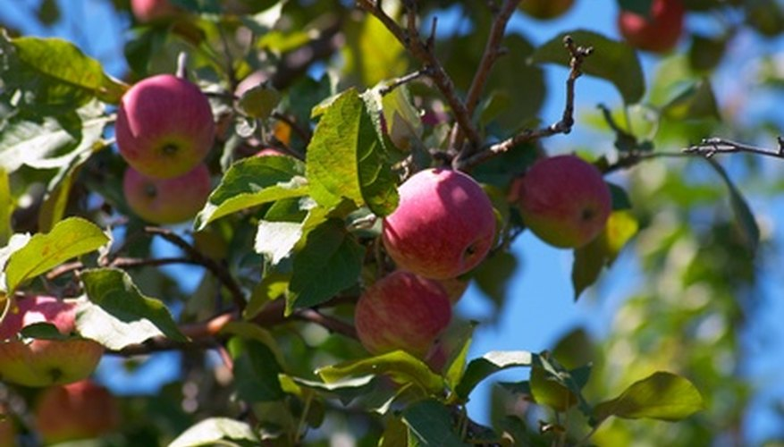 Organic pest control keeps apples healthy.