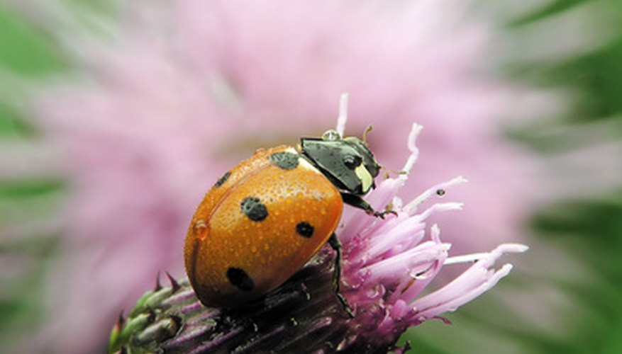 The ladybug is a beneficial insect that can rid a greenhouse of aphids.