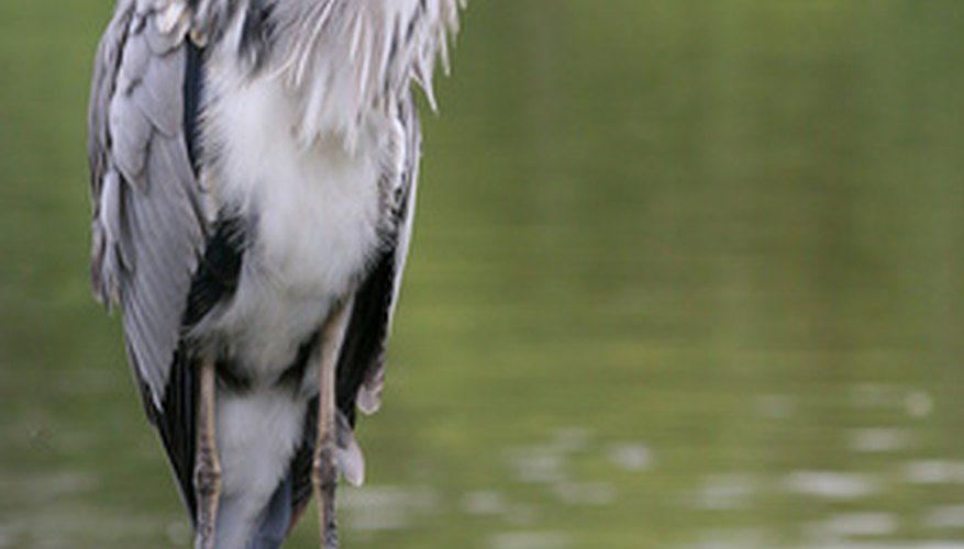 Herons enjoy visiting backyard ponds for an easy meal.