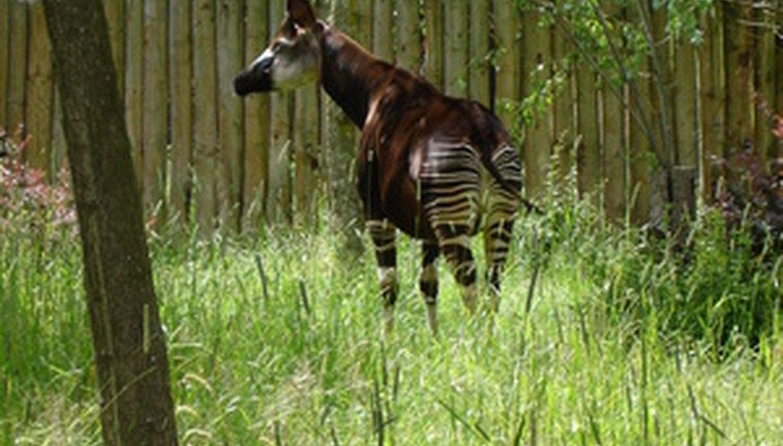 Okapi markings make it easy for them to hide.