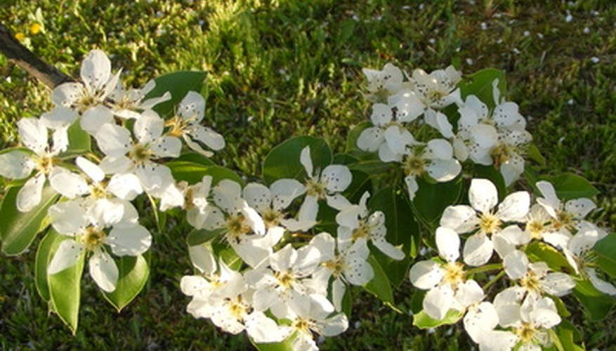 Ornamental pears feature white blossoms.
