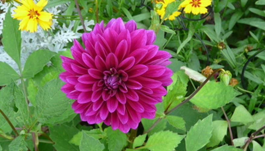 A dahlia in bloom