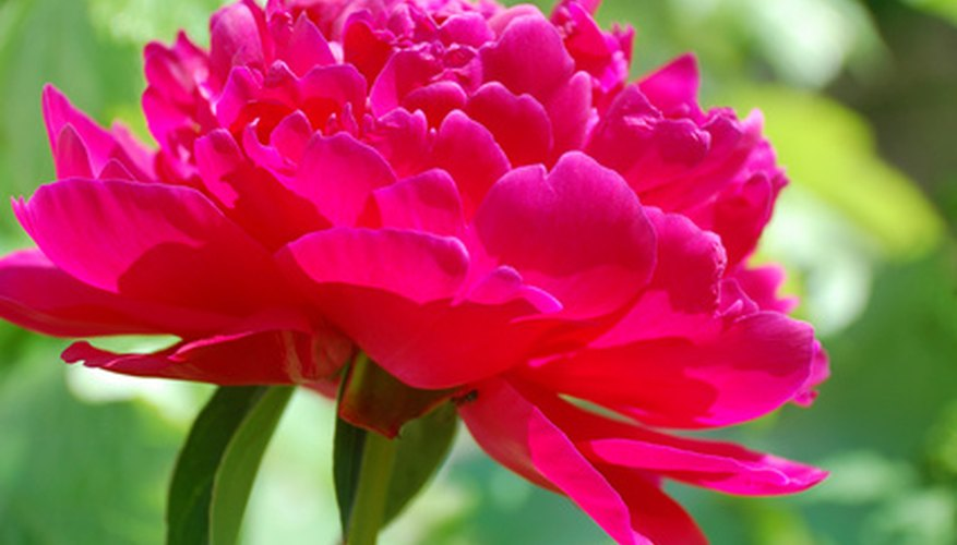 Peonies are native to the temperate regions of Europe and Asia.