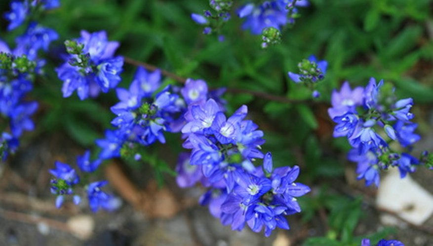 Veronica flowers create a bright burst of color.