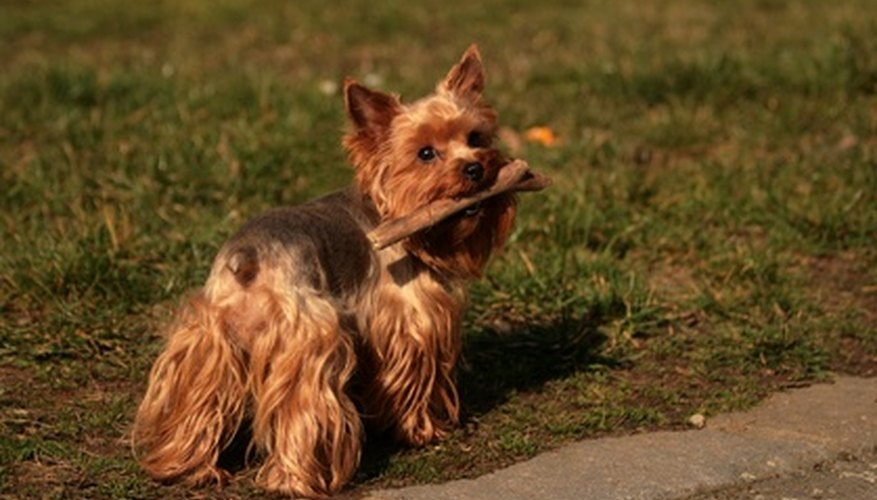 Yorkies enjoy playing outdoors where they get dirty just like other dogs.