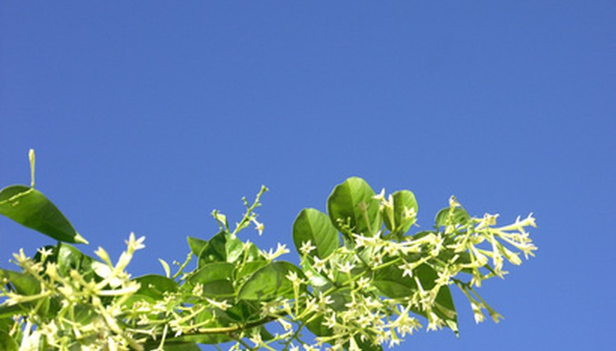 Star jasmine will climb a wall or trail on the ground.