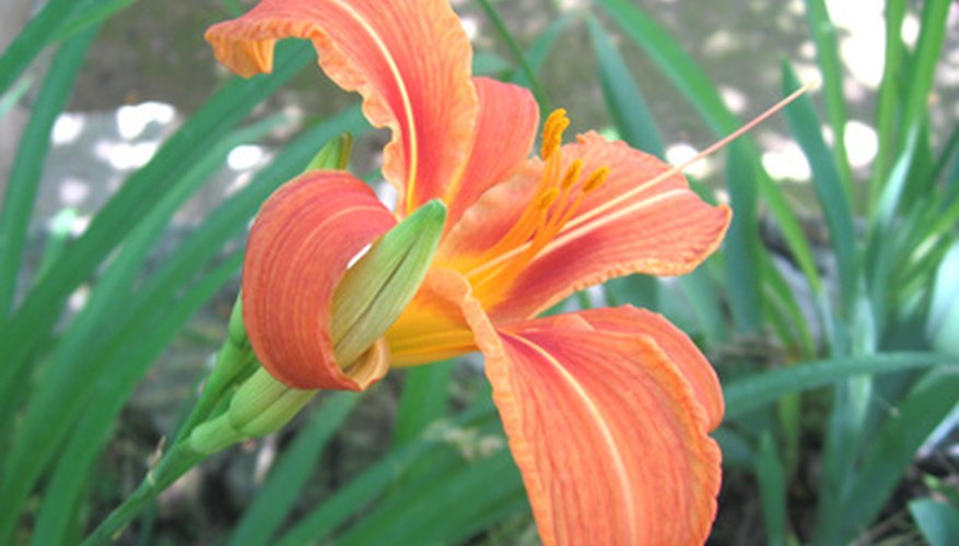 Hemerocallis, or daylily, is not a lily but resembles one.