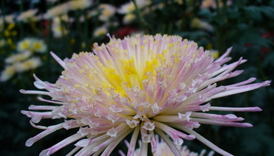 Shades of pink and a yellow center give this chrysanthemum a dramatic appeal.