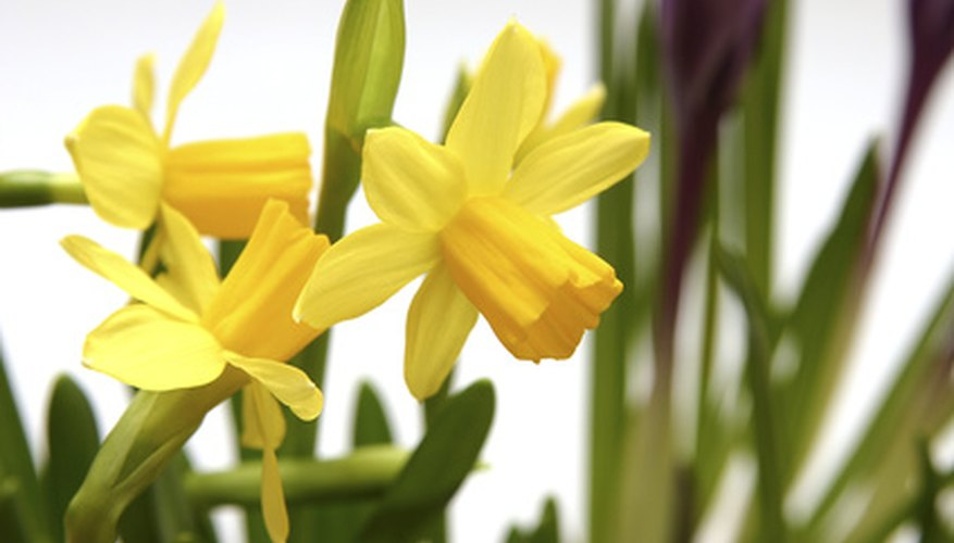 Daffodils will pull themselves more deeply as they grow larger.