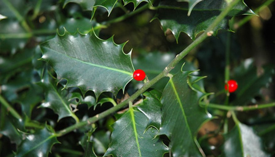 Holly shrubs feature spiny leaves and red berries.