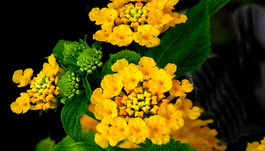 The lantana is a native to the Americas.