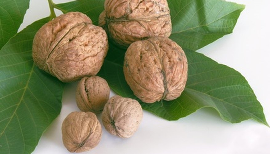 Grow walnuts from seed.