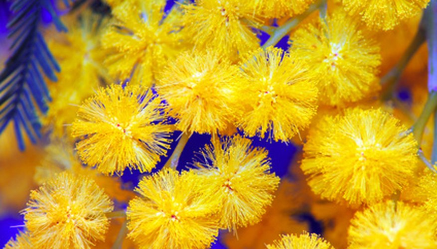 Mimosa acacia flowers are cheerful in late winter.