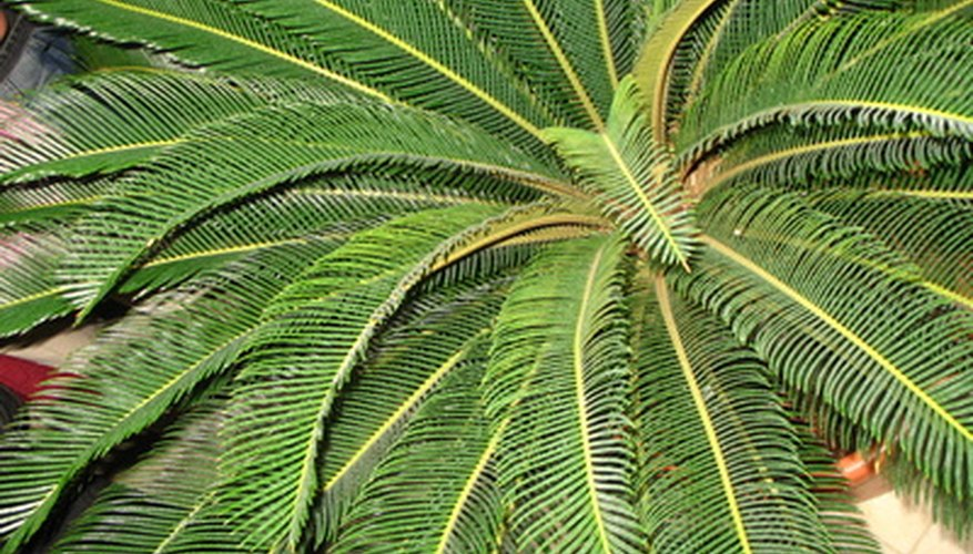 Bushy crown of the Robellini palm tree.