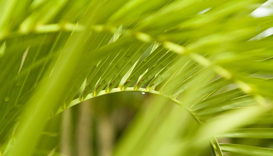 Palm fronds often show early symptoms of infection.