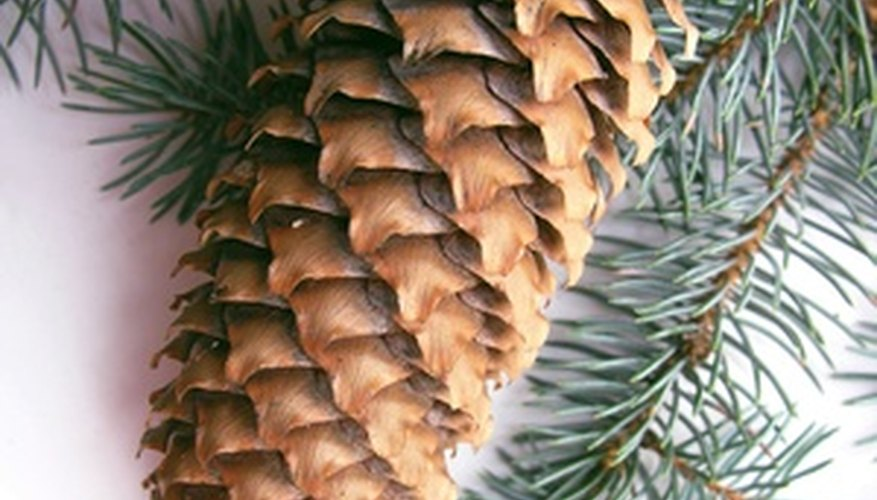Spruce trees have long thin cones.