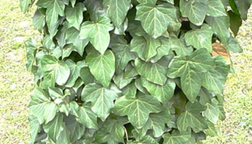Poison oak can cause severe skin irritation.
