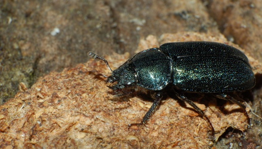 Beetles feed on plants and are generally found outdoors and in the garden.