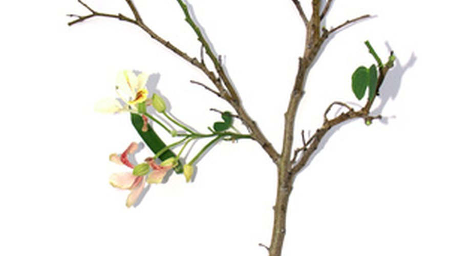 The Bauhinia name defines a wide array of white orchid trees.