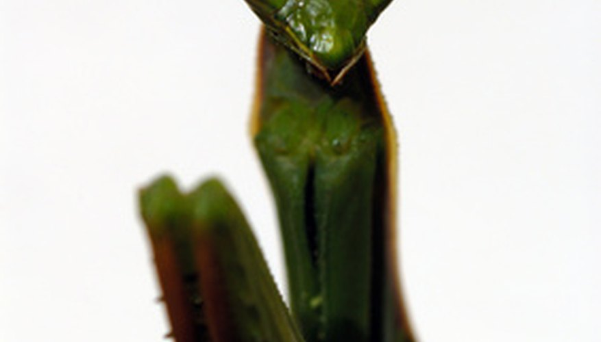 The praying mantis' head is triangular with long antennae and large eyes.