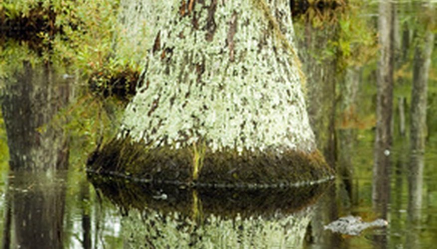 Bald cypress knee-shaped trunks