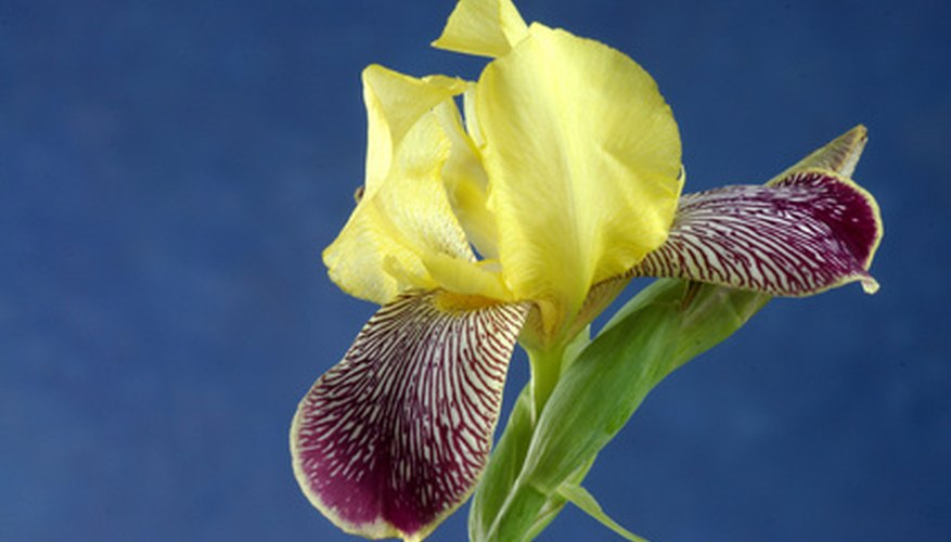Iris standards in yellow