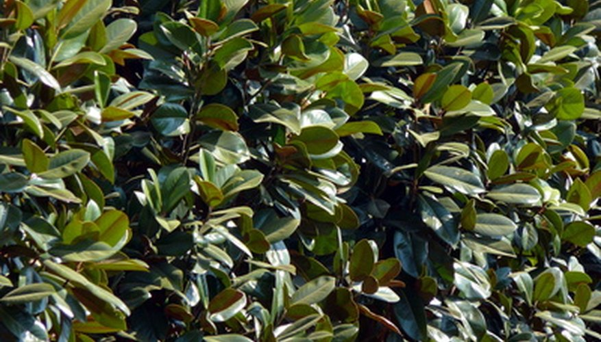 The leaves of the magnolia tree do not easily decompose.