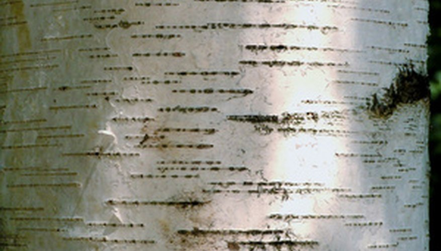 Birch bark is often unique and differs greatly from that of poplar.