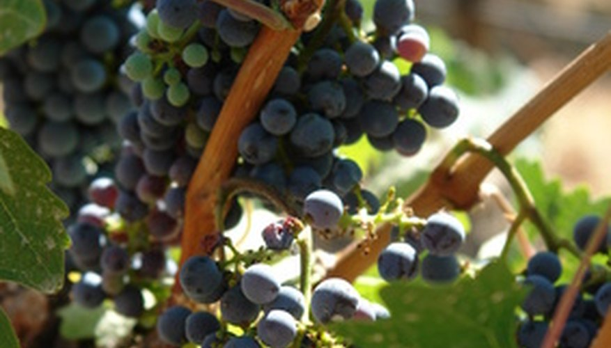 Grapes are a long-lived vine in the home garden.