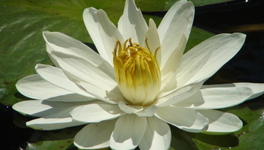 The fragrant white water lily is a floating river plant.
